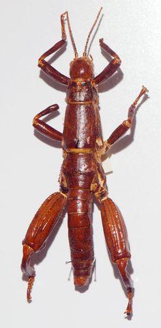 Der Baumhummer (Dryococelus australis) galt lange als ausgestorben