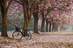 Tabebuia by Wootipong Vootiprux on 500px