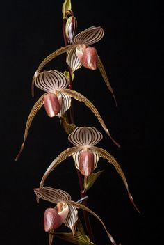 Orchid Paphiopedilum Krull's Lady 'Crystelle' AM/AOS