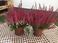 Jednoduchý trik, ako docieliť, aby vám vresy nevysychali a kvitli celú sezónu Gardening, Flowers, Diy, Hacks, Plants, Balconies, Bricolage, Garten, Florals
