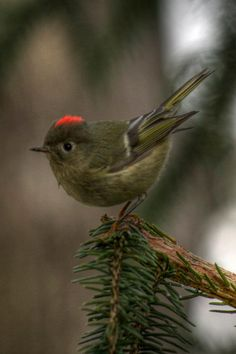 Ruby-crowned kinglet. Photographed by my friend off our deck. by curlyzoitsa