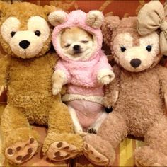 And then Papa Bear chased the Wolves away! Chihuahua Puppies, Cute Dogs And Puppies, Baby Puppies, Baby Dogs, Chihuahuas, Doggies, Cute Baby Animals, Funny Animals, Akita Dog