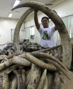 The Department of Environment and Natural Resources (DENR) is set to crush and burn some P420 million (US$10 million) worth of seized elephant tusks to show the country's support for the global campaign to end the illegal trade of wildlife species.