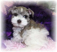 Toy Miniature Schnauzers | Toy, Teacup and Miniature Schnauzer Colors