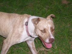 09/19/15-Meet Goldie, a Petfinder adoptable Pit Bull Terrier Dog | Wylie, TX | Goldie and her sister (Aubrey) came from the Fairy Dogmother down in West Dallas. The man who was...