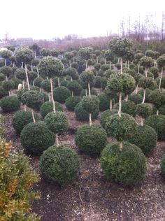 Buxus triobol quatrobol topiary Buxus, Topiary, My House, Plants, Green Mountain Boxwood, Flora, Plant