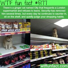 Cat that sits on the shelf of supermarkets and refuses to leave - WTF fun facts