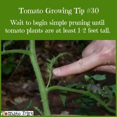 When to prune suckers off tomato plants. More info about pruning tomatoes: http://www.tomatodirt.com/pruning-tomatoes.html