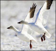 snow geese taking flight Snow Goose Hunting, Grey Goose, Snow Globe, Art Challenge, Bird Species, Taxidermy, Headdress, Ducks, Feathers