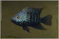 Herichthys carpitis