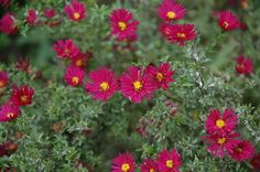 Burgundy asters: all year  $