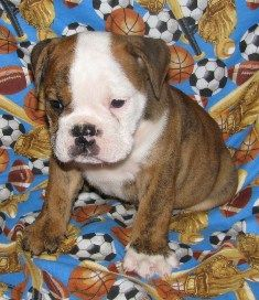 Victorian Bulldog Rescue | Victorian Bulldog Puppies