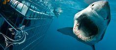SHARK CAGE DIVING Cape Town,http://www.sharkbookings.com/