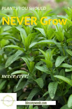 Just because something looks beautiful, doesn't mean it is going to be good in your yard. Plants, we are talking plants. Sometimes knowing what not to do is more helpful than knowing what to do. Read on to learn more about plants yor should never grow.#plantsyoushouldnevergrow #avoidgrowingtheseplants #planttips #gardeningtips #beesandrosesblog Farmhouse Landscaping, Front Yard Landscaping, Landscape Curbing, Backyard Water Feature, Plant Guide, Low Maintenance Landscaping, Hardy Plants, Organic Gardening Tips, Aquatic Plants