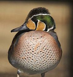 Baikal Teal,male (Anas formosa), also called the Bimaculate duck or Squawk duck, is a dabbling duck that breeds in eastern Russia and winters in East Asia.