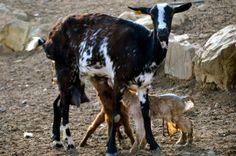Onze pasgeboren buurgeitjes! Moedergeit regelt het allemaal zelf. #mooi