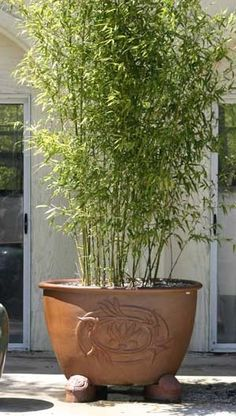 potted bamboo:  I want small, narrow pot of 3 to put in shade area of walking path in summer