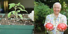 Poliala som sadenice s týmto prípravkom a moje rastliny pustili krásne silné výhonky a začali bujne kvitnúť Christmas Bulbs, Remedies, Gardening, Vegetables, Holiday Decor, Hothouse, Hacks, Plants, Seeds