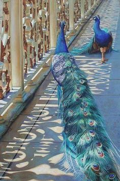 Beautiful Peacocks