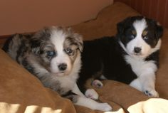 Blue bi and black tri Aussie puppies Aussie Puppies, Dogs And Puppies, Kittens, Cats, Pet Dogs, Doggies, View Photos, Animals And Pets, Puppy Love