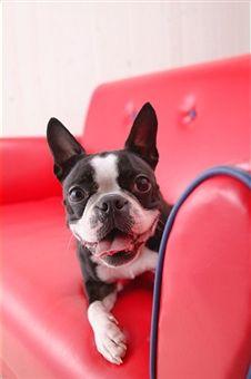 cutie pie Boston Terrier