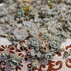https://flic.kr/p/L4j7kW   去年初把子持年华重新整理,夏天时成了蜗牛的育婴房。今年没管过,又爆满了。 #多肉植物#多肉#yunnan#succulent#다육식물#エケベリア#サボテン#ไม้อวบน้ำ #กระบองเพชร#succulents#succulove#vetplanten#Sukkulent#suculentas#sukulenty#Суккуленты#plants#plantagram#canon#ZLsucculent#Echeveria