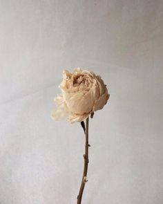 Nude Peonie dried to perfection   Beige Aesthetic, Aesthetic Photo, Aesthetic Pastel, Love Flowers, Dried Flowers, Flora Botanica, Home Candles, Geraniums, Peonies