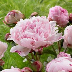 Create elegance in your garden with peonies from White Flower Farm. Enjoy the bright-colored lush fullness of the peony flower in your outdoor landscaping. Exotic Flowers, Cut Flowers, Beautiful Flowers, Flowers Garden, Peonies Garden, Small Flowers, Wild Flowers, Organic Gardening, Nature
