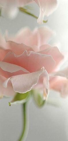 ❣lovely pastel pink rose