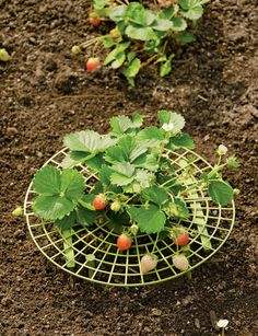Strawberry Supports   Protect Berries with this Strawberry Plant Cradle
