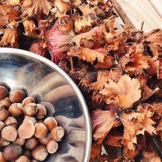 Yay  such a rich harvest: 251 hazelnuts and there are still a few left on the tree  #harvest #crop #harvest2016 #hazelnut #ernte #haselnüsse #haselnussernte #nuts #garden #gardening #gärtnern #Garten #nature #vsco #vscocam