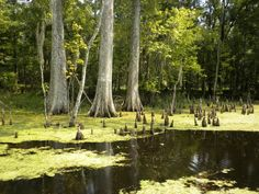 Terrebonne Parish Swamp...This Beautiful, Mysterious Swamp Looks Calm and Serene, but the Swamp is Alive With the Activities of the Creatures Who Call it Home!  Near Houma, Louisiana Photo by: Melissa K Hand