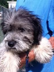 J.J. Von LoveMuffin is an adoptable Wheaten Terrier Dog in Springfield, VA. Golden 'S' Rescue would like to thank all of the families and individuals who applied for J.J. Von LoveMuffin, and especiall...