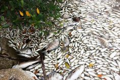 Scenes of devastation along the state's Indian River Lagoon show hundreds of thousands of dead fish.