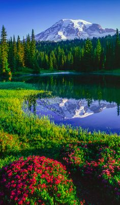 Mt. Rainier and red heather at Reflection Lakes in Mount Rainier National Park…