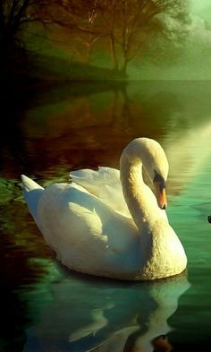 in my dreams Beautiful Swan, Beautiful Birds, Animals Beautiful, Swan Pictures, Bird Pictures, Animals And Pets, Cute Animals, Swan Painting, Mute Swan