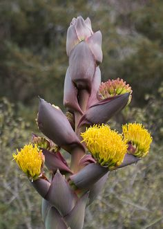 Shaw's Agave/Agave shawii (rare and endangered) via Flickr.
