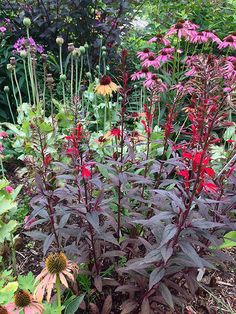 Lobelia 'Black Truffle': This gorgeous perennial combines rich, dark maroon foliage with iridescent spikes of bright red, nectar-rich flowers. Commonly called cardinal flower, perennial lobelia thrives in moist soil so it excels in bog or rain gardens. The dark leaves of 'Black Truffle' keep it colorful before and after the flowers appear in August and September. Growing Conditions: full sun Size: 3-4 feet tall, 2-3 feet wide Zone: 3-8