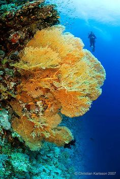 Egyptian Red Sea Impressive fan corals like this one can be found on the deep walls of Elphinstone and Brother Islands.