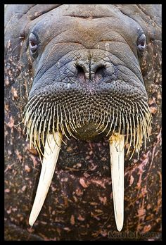 Walrus tusks are canine teeth.