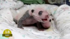 "Baby Pando Video | Atlanta Zoo ""Panda Cam"": Watch Newborn Giant Pandas So  precious!"