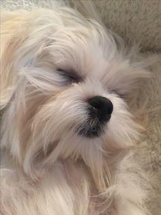 Coconut our Maltese Sleeping Beauty Teacup Maltese, Maltese Dogs, Teacup Puppies, Cute Puppies, Cute Dogs, Dogs And Puppies, Doggies, Animals And Pets, Cute Animals