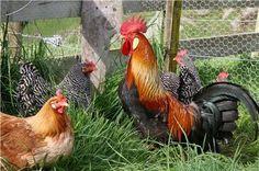 Kippen en een haan