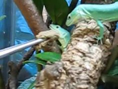 Gastropholis prasina - on my lizard wishlist!