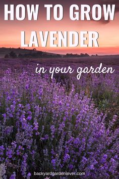 Check out these tips for growing lavender plants and enjoy beautiful, fragrant, resilient lavender plants for years to come: it's easy and rewarding!