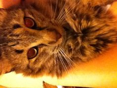 Maine Coon Cat!