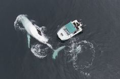 Incroyable rencontre entre le photographe Craig Parry et une #baleine à bosses de 40 tonnes au large des côtes de Byron Bay en #Australie - A stunning aerial shot taken from a drone of the humpback #whale beside Craig's boat taken on September 9 2015 in #ByronBay #Australia. Two 40 tonne humpback whales put on a show to remember for the inhabitants of this small boat - at one point coming so close that they accidentally collided with it. The incredible once-in-a-lifetime encounter was…