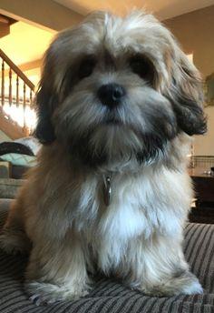 Lhasa Apso puppy                                                       …: