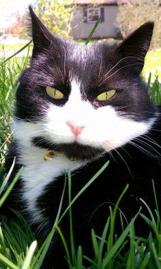 Tuxedo Cat Ke-ke