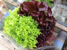 Lettuce - Multired 80 Lettuce Seeds Lettuce Seeds, Agriculture, Beef, Vegetables, Fruit, Food, Products, Meat, Essen